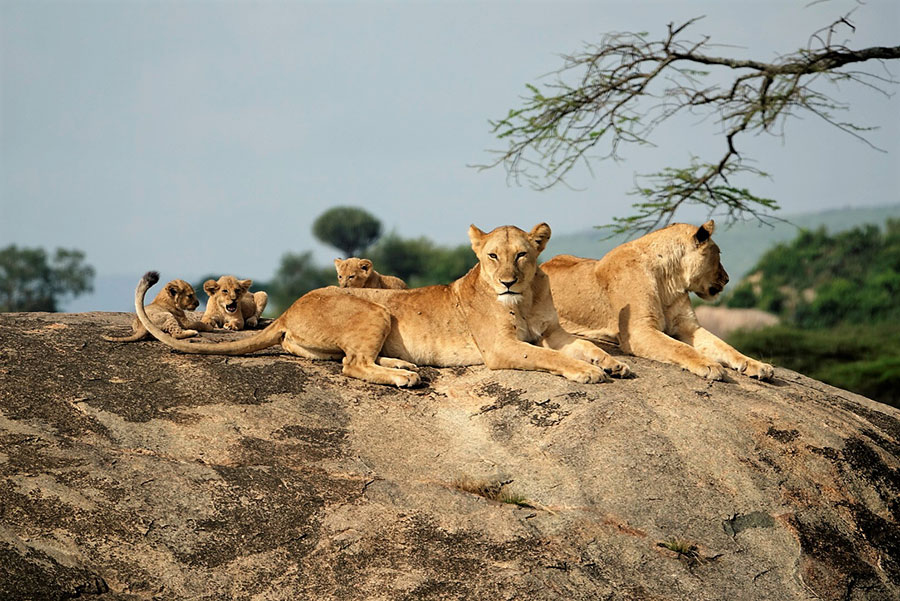 Lions are Social and Live in Prides