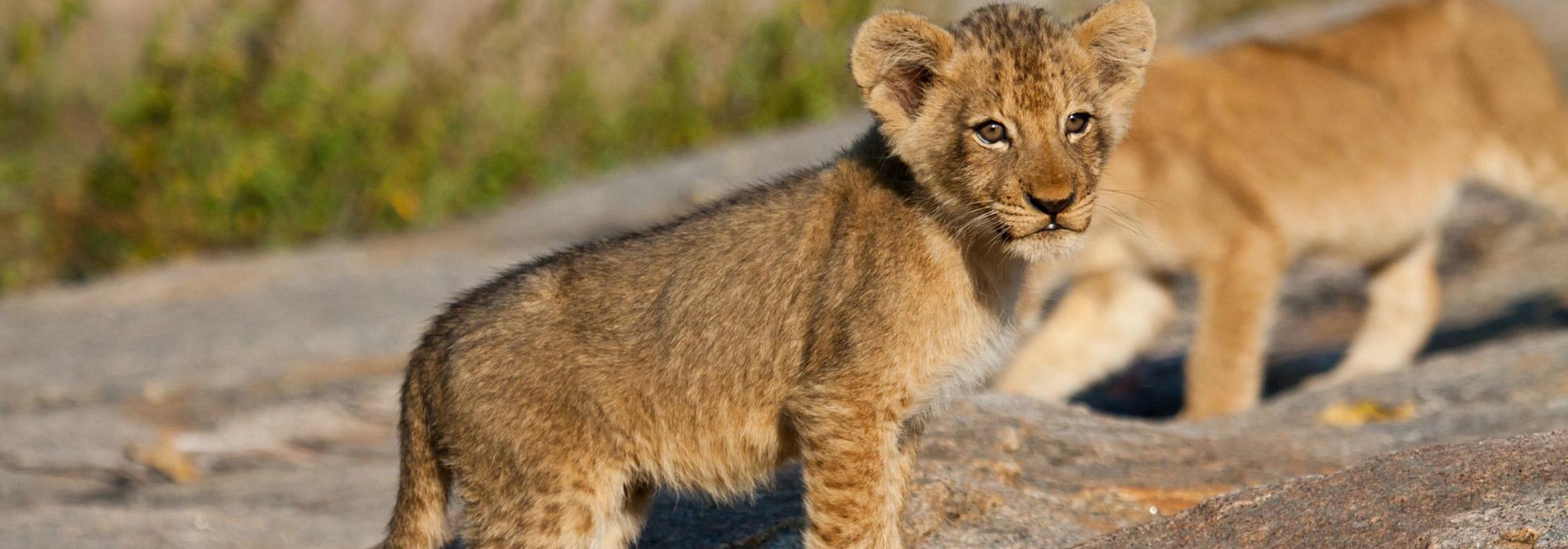Lion cun
