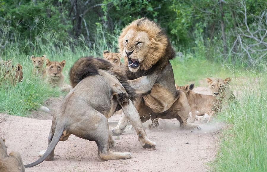Lion Skirmish at Sabi Sabi in South Africa