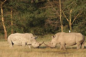 Rhinos Lake Nakuru