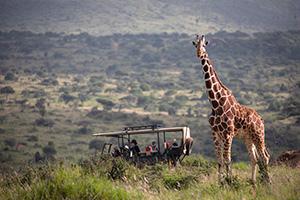 Giant Giraffes spotted on Safari