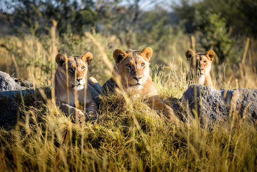 Lions are Smart Hunters, photo from Sanctuary Chief's Camp in Botswana