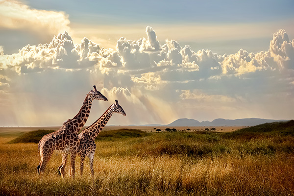 Giraffes in the Serengeti