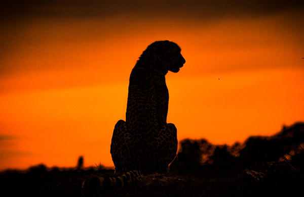 Cheetah Silhouette at Shamwari