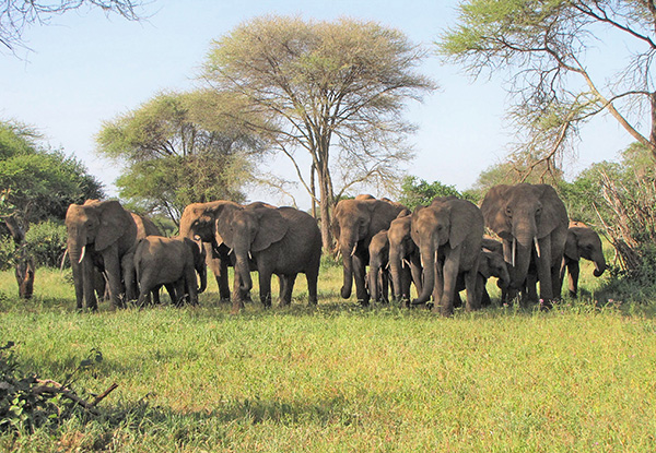 Elephant Herd in Tarangire National Park