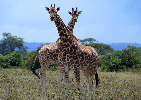 Giraffes in East Africa