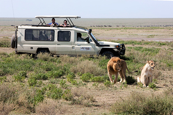 Lions spotted on safari in Tanzania