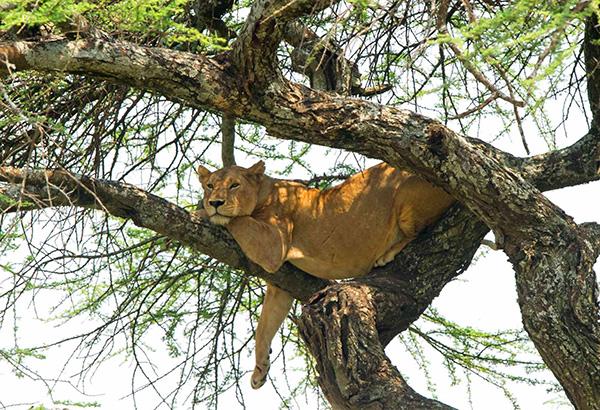 Lioness in a tree in Tanzania
