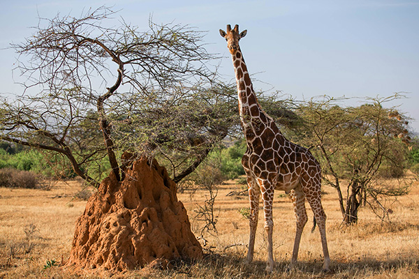 Reticulated Giraffe, an Endangered Species