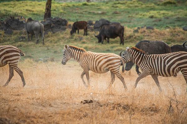 Zebra at Sarova Lion Hill