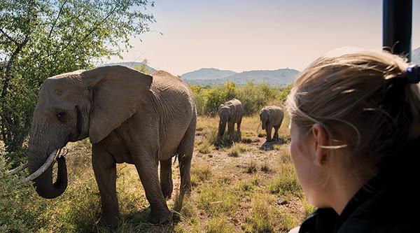 Viewing Elephants on Safari