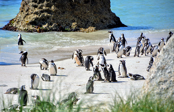 Penguins in South Africa, at Boulders Beach