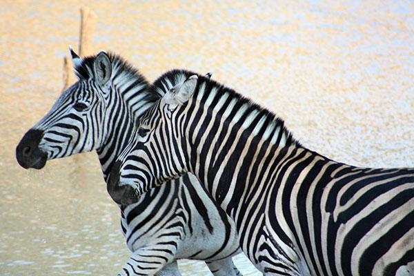 Zebras at Kapama
