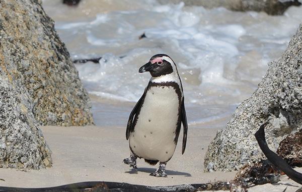 Penguin at Boulders Beach