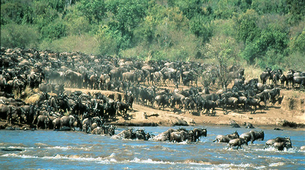 Wildebeest Migration in East Africa