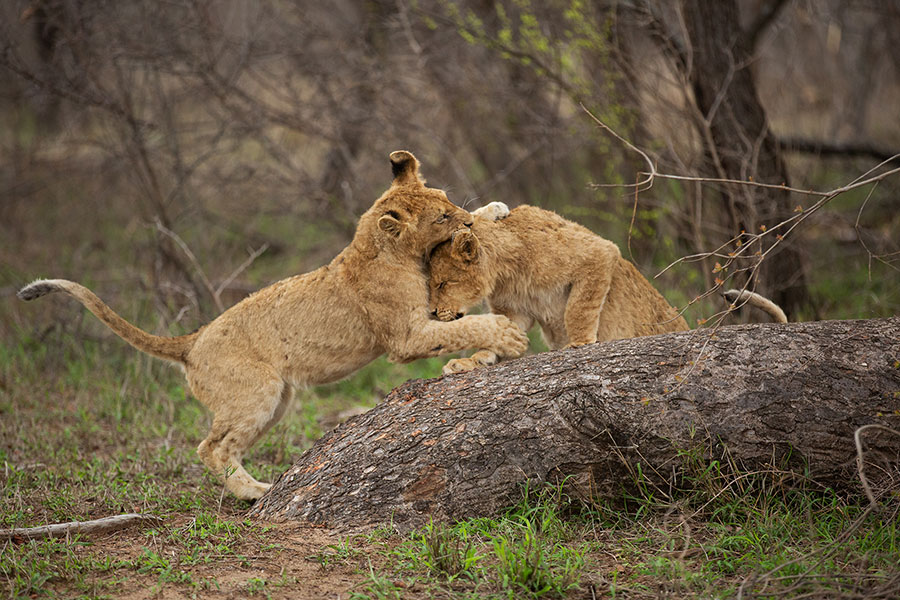 Lion Cubs Playing on a Tree