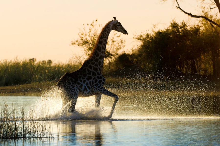 Giraffe walking in Water in Linyanti, Botswana