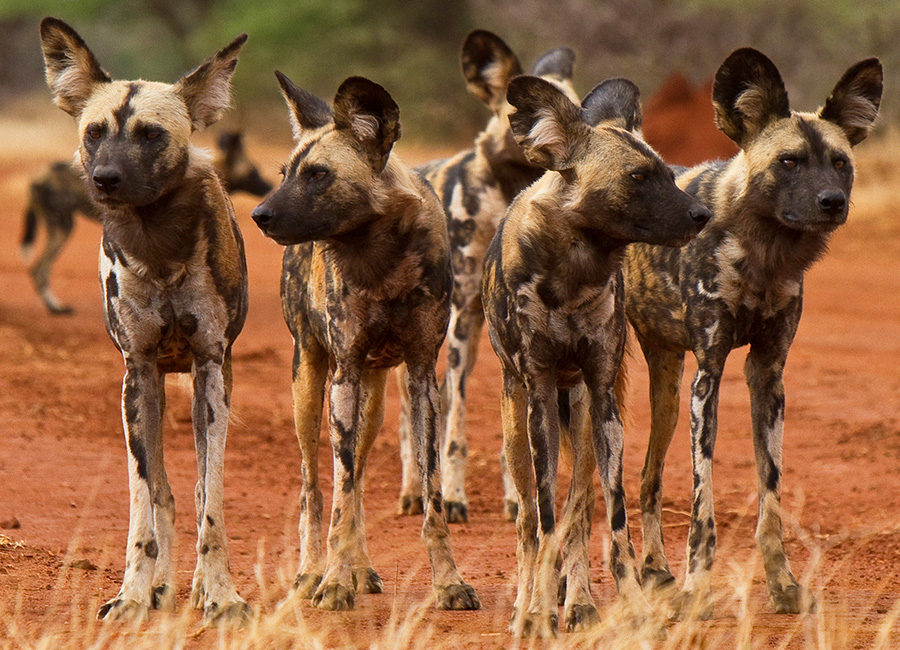 Spot Rare Wildlife in Botswana like Wild Dogs