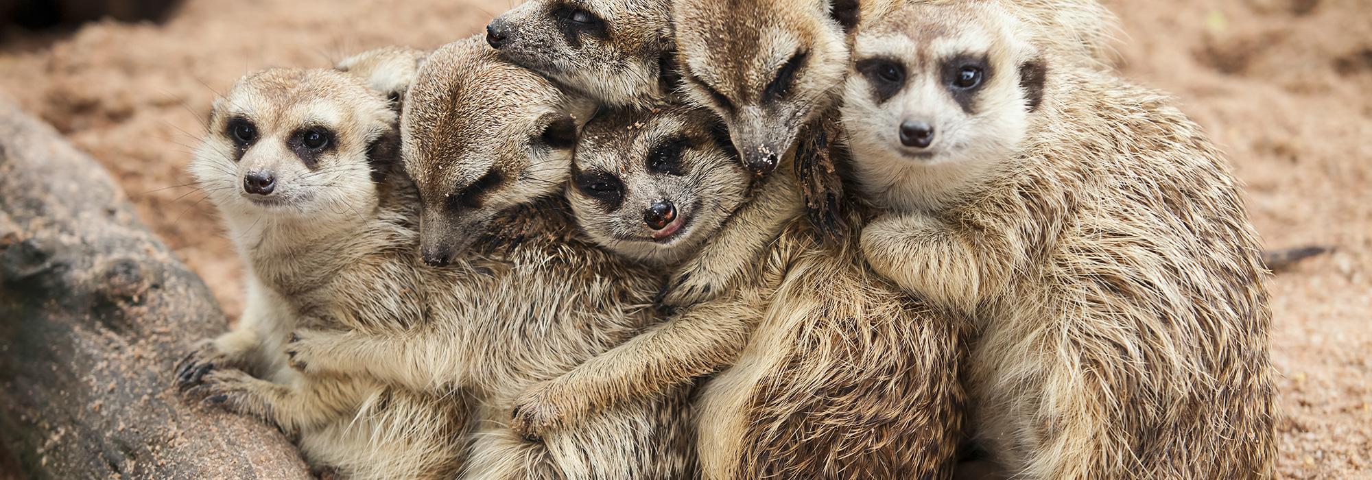 Meerkat Family