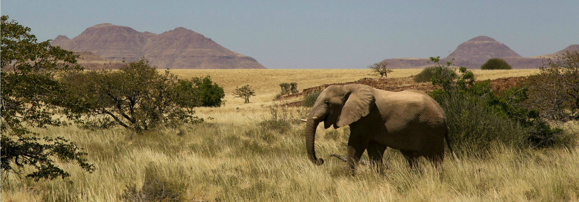 Namibia Desert adapted elephants