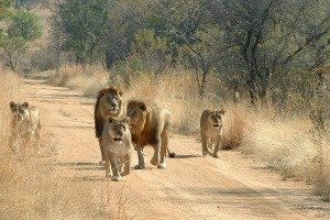 Lions on an African safari