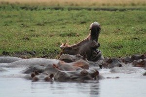 Kazinga Channel's huge hippo population