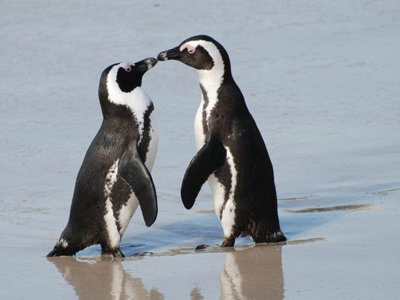 African Penguins Mate for Life