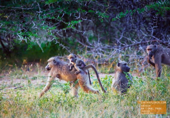 Baboons Kruger National Park, South Africa