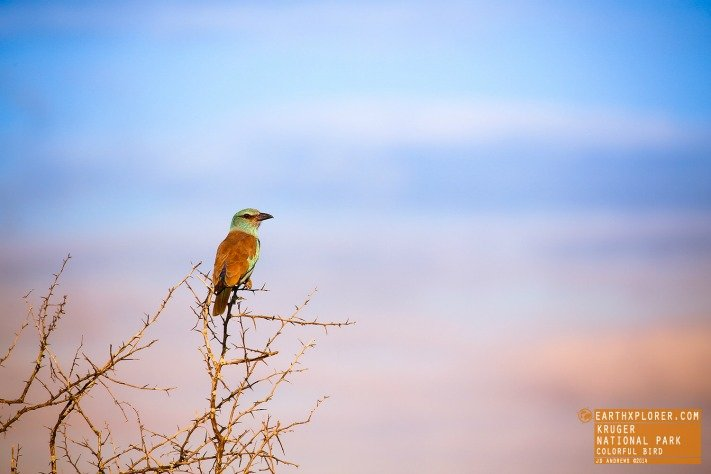 Bird in the Kruger National Park, South Africa