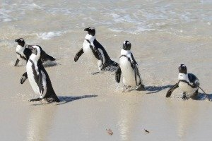Boulders Beach Cape Town - African penguins