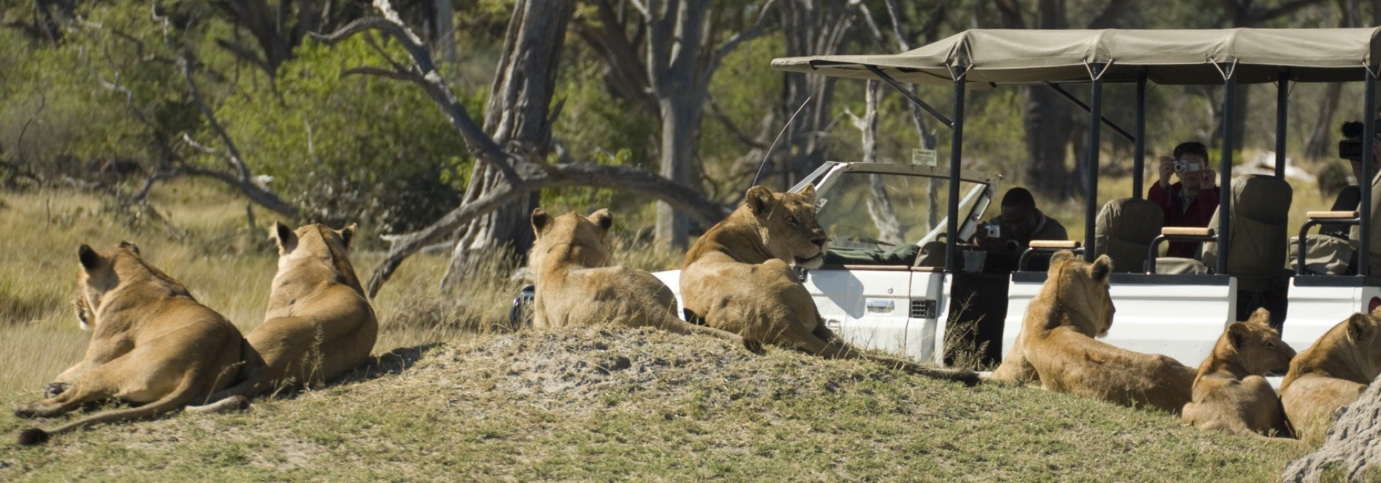 Lions on safari in Botswana