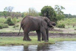 Elephant at Chobe River