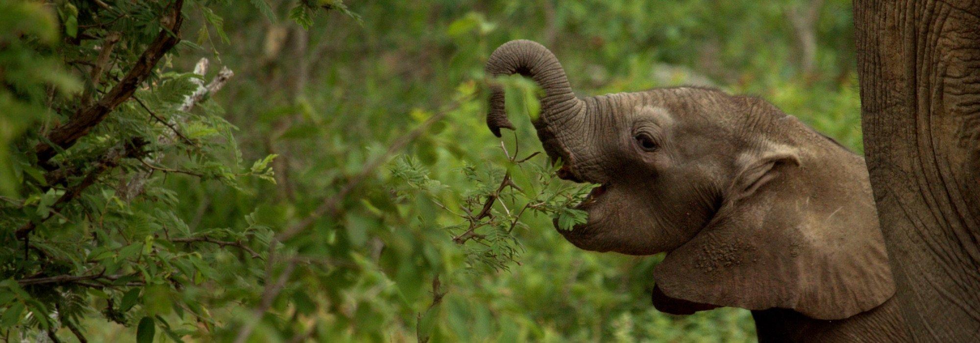 Baby elephant at Kapama