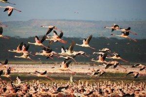 Flamingos of Lake Nakuru