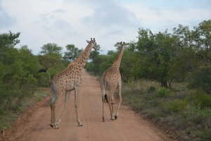 Giraffe in Pilanesberg Game Reserve