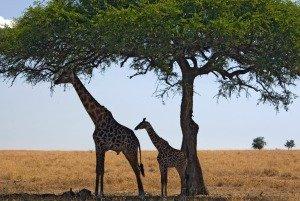 Giraffes on the Serengeti Plains