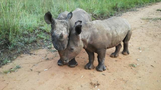 Two little rhinos at the The Rhino Orphanage in South Africa