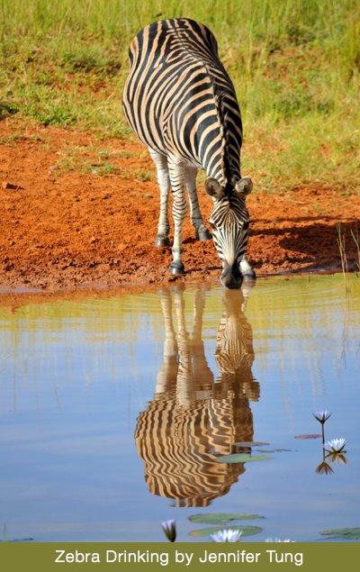 Zebra Drinking by Jennifer Tung