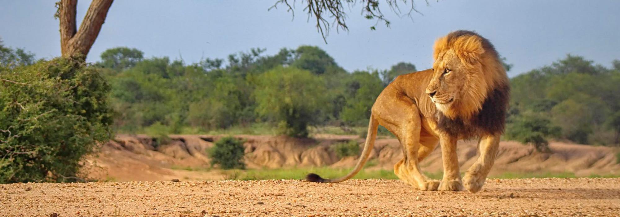Lion at Kapama