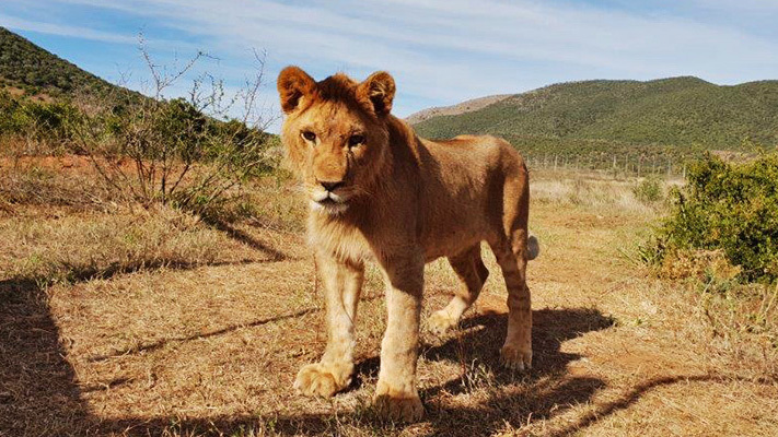 King the Lion Cub