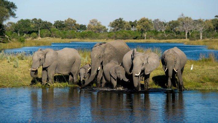 Elephants of Linyanti