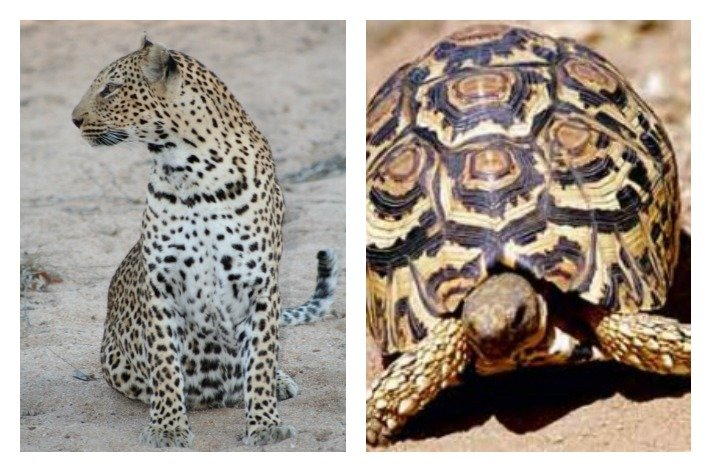 Leopard Tortoise - The Little Five