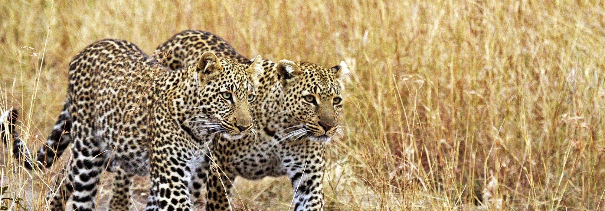 Leopards in Kenya