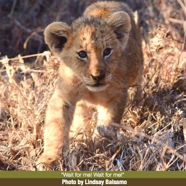 Lindsay Balsamo's Lion Photo