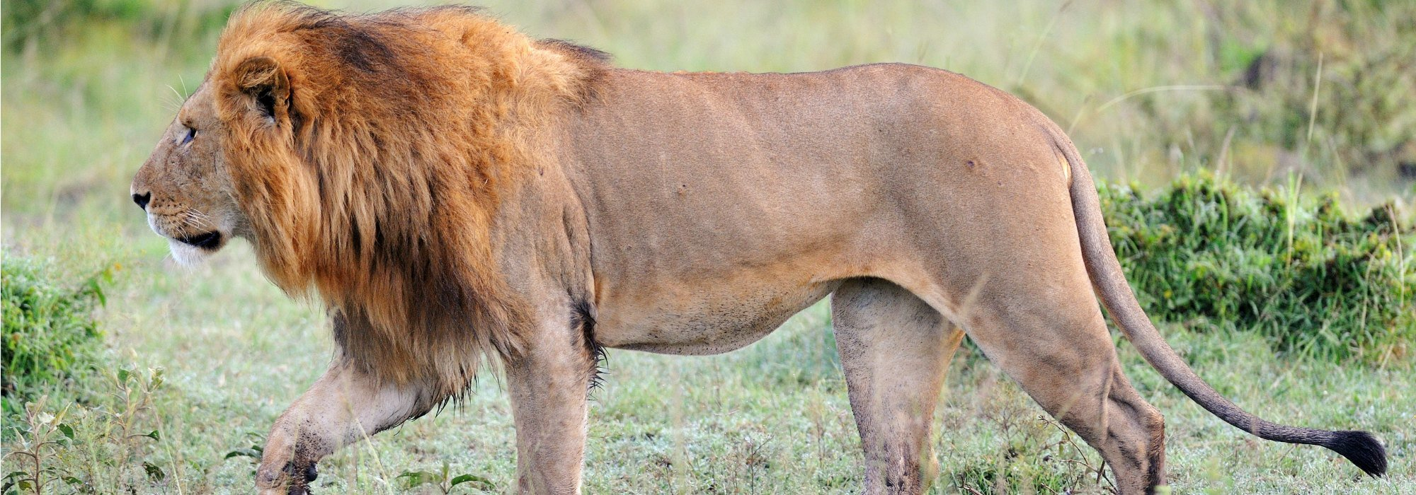 Tanzania Safari, lion in the Serengeti