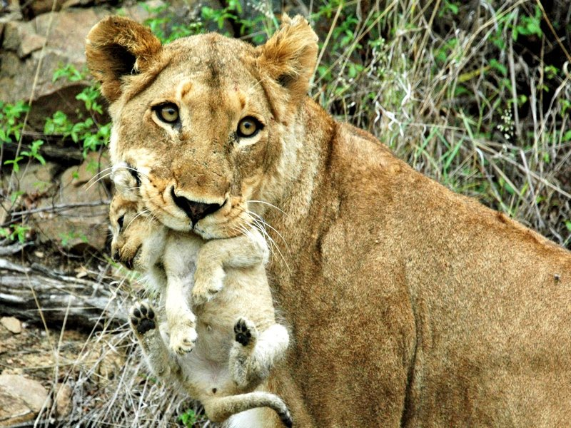 7 Incredible Facts About Africa\'s Animal Mothers | Lion ...