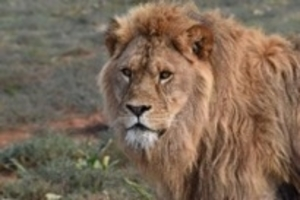 Lion at Shamwari