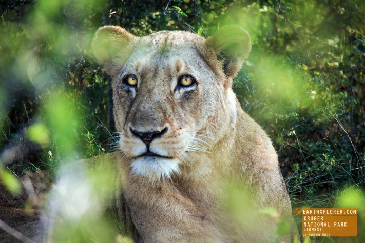 Lioness Kruger National Park, South Africa
