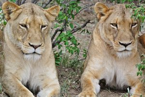 Lionesses on Safari in South Africa