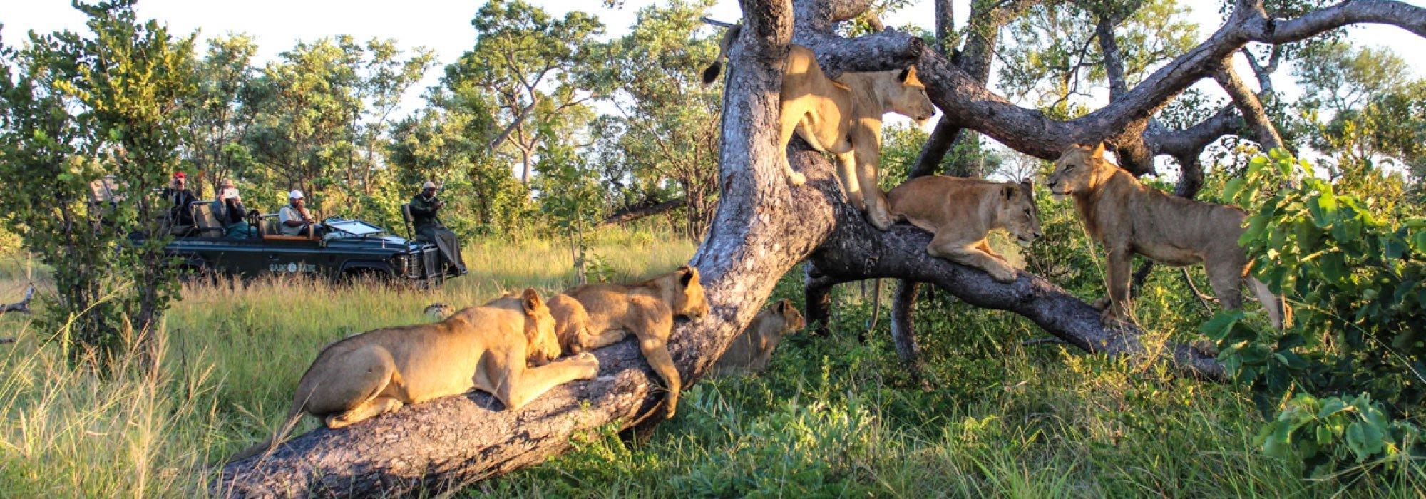Lions at Sabi Sabi